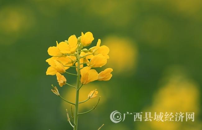 图7:2月4日,在广西柳州市融安县长安镇大巷村拍摄的油菜花。(谭凯兴 摄).JPG