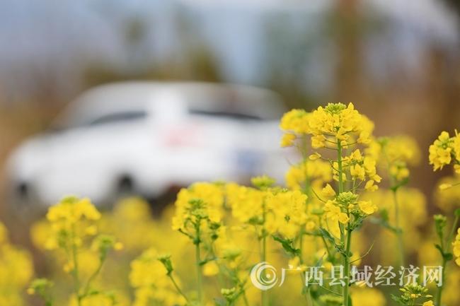 融安县长安镇油菜花渐次开放:花开迎春