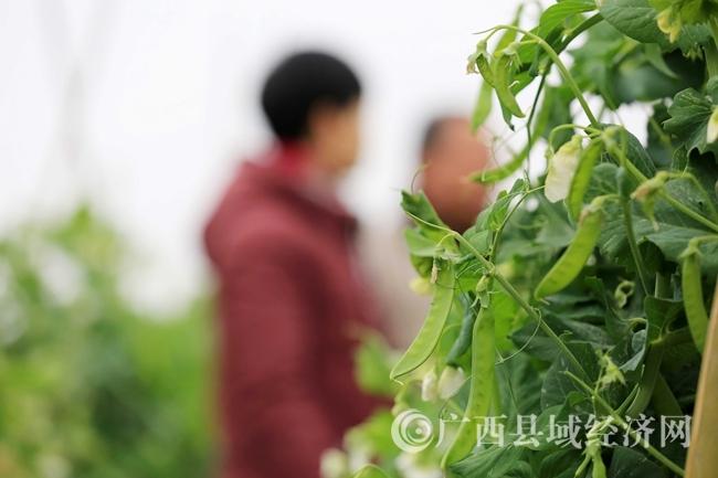 图9:1月30日,在广西柳州市融安县潭头乡新桂村东桂屯田间拍摄的豌豆荚。(谭凯兴 摄)