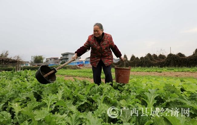 图2:2月4日,一名农民在广西柳州市融安县长安镇田间给蔬菜浇水。(谭凯兴 摄).JPG