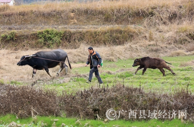 图5:2月4日,在广西柳州市融安县长安镇大巷村,一名农民牵着耕牛去田间劳作。(谭凯兴 摄).JPG