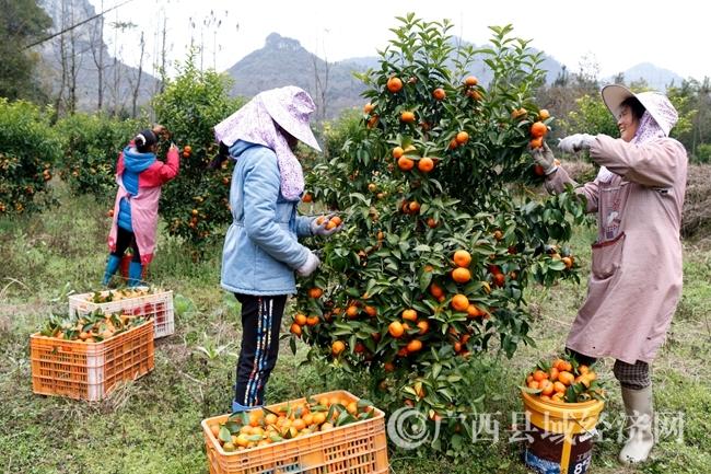 图为砂糖桔园中工人们正在忙着采摘