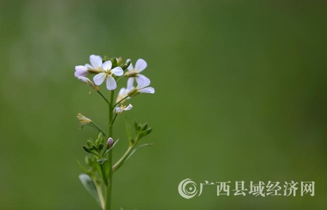 图8:2月4日,在广西柳州市融安县长安镇大巷村拍摄的白色菜花。(谭凯兴 摄).JPG