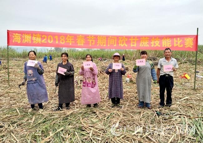 """[宁明县]举办砍蔗趣味竞技比赛推动甘蔗""""双高""""生产"""