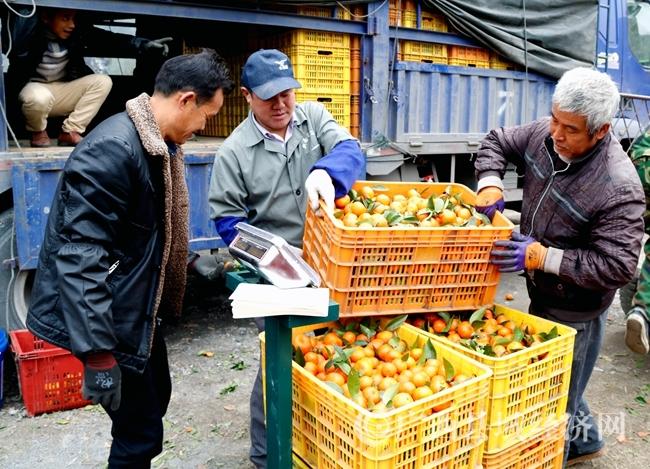 图为砂糖桔园中工人们正在忙着过称装车