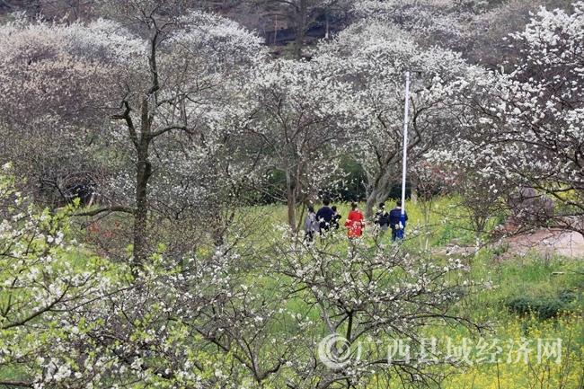 图7:3月2日,游客在广西柳州市融安县东起乡崖脚村铜板屯踏青赏花。(谭凯兴 摄)