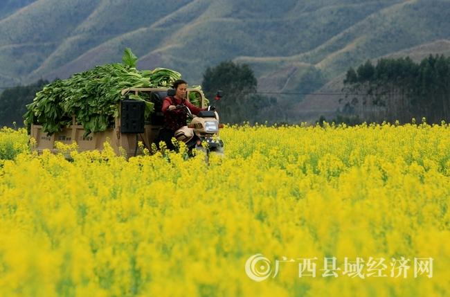 图1:3月5日,在广西柳州市融安县长安镇大巷村,一位村民开车拉菜回家,准备制作酸菜。覃庆和 摄.JPG