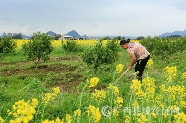图3:3月5日,在广西柳州市融安县长安镇大巷村,一位村民在锄草。覃庆和 摄