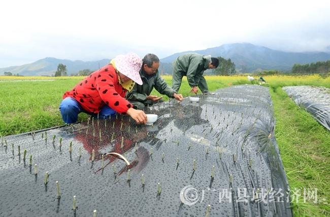 图5:3月5日,在广西柳州市融安县长安镇大巷村,村民们在田间劳作。覃庆和 摄