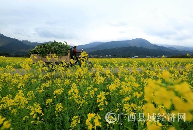 图6:3月5日,在广西柳州市融安县长安镇大巷村,一位村民开车拉菜回家,准备制作酸菜。覃庆和 摄