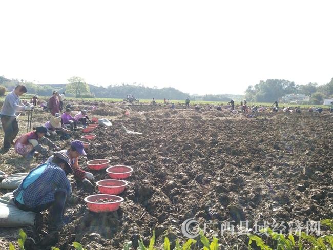 [恭城县]土地流转让农民实现家门口就业