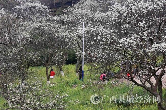 图5:3月2日,游客在广西柳州市融安县东起乡崖脚村铜板屯踏青赏花。(谭凯兴 摄)