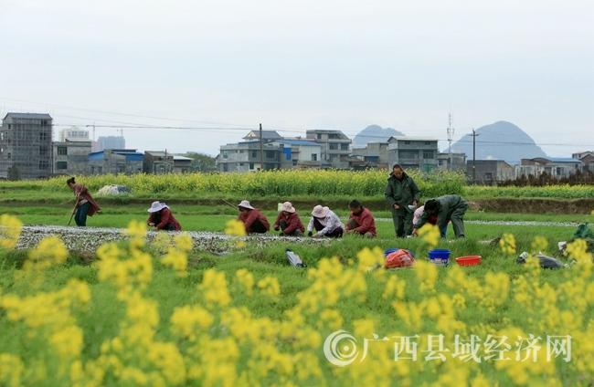 图4:3月5日,在广西柳州市融安县长安镇大巷村,村民们在田间劳作。覃庆和 摄