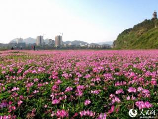 全州县:紫云英盛开成花海