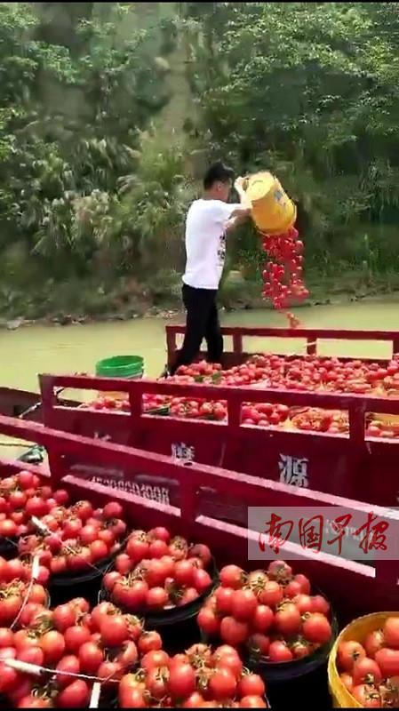 广西田阳大批西红柿烂地里 农户无奈倒江中(组图)
