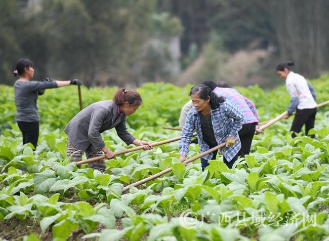 罗城县:大力发展一村一品 加快农民脱贫致富