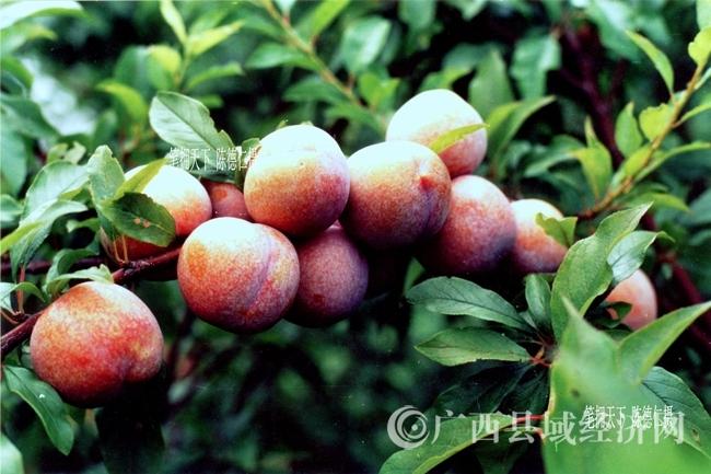 全国优质鲜食李三里赖村胭脂李