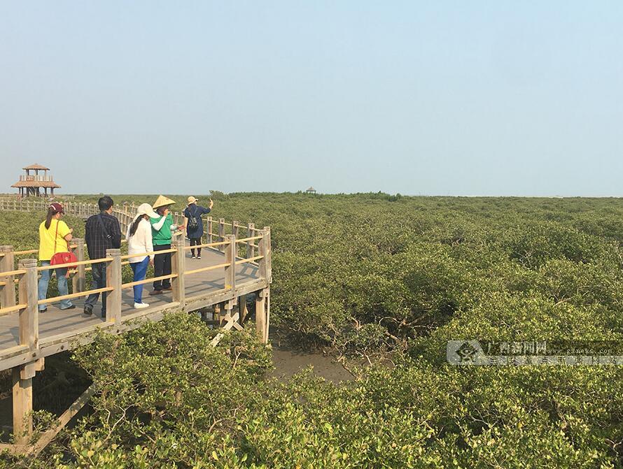 北海打造城市新名片 金海湾红树林成旅游爆款