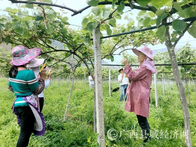 罗城县:计划种植红心猕猴桃产业5万亩