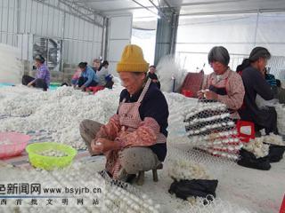德保县:隆桑镇今年首批蚕茧出售