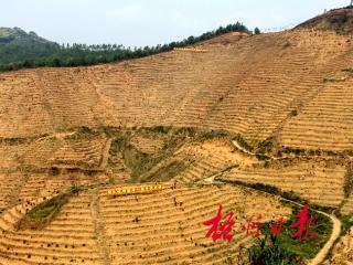 梧州市:六堡镇扩大茶园种植加快特色小镇建设步伐