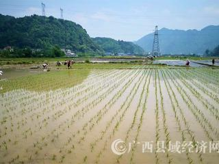 南丹县:百亩水稻高产攻关试验水稻移栽顺利