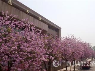 融安县:紫荆花香满融城
