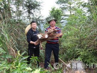 """宁明县:松树根上种茯苓 """"点木成金""""助脱贫"""