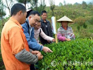南丹县:茶叶专家指导茶农采茶