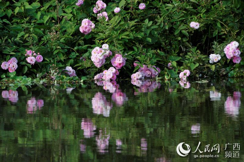 上思县:立夏时节十万山里花果香