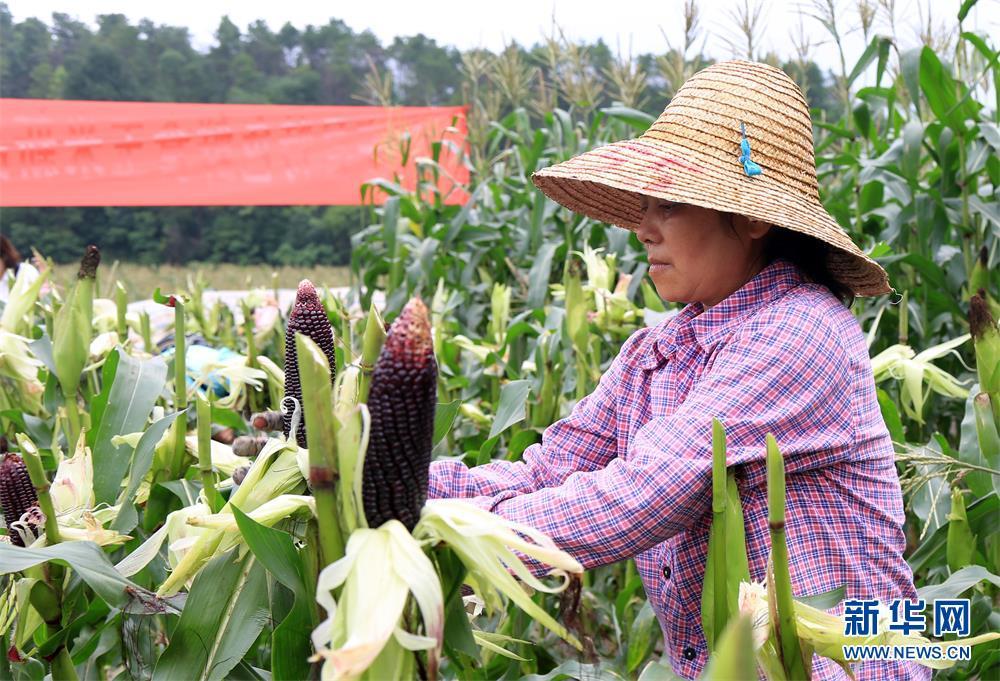 广西育成的黑糯玉米品种在都安示范成功