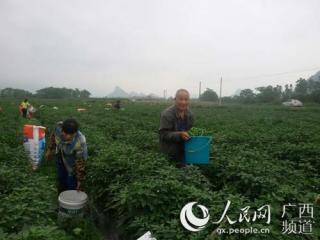 上林县:辣椒迎来大丰收 农民田间采椒忙