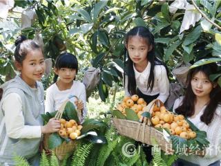 南丹县:城关镇的大五星枇杷产业旺