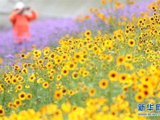 南宁:良庆区田园风光美!马鞭草和非洲雏菊竞相盛放