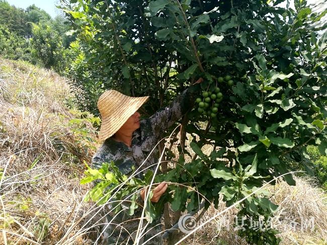 宁明县:农民发展坚果种植