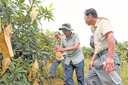 上思县:平福乡雄杰村那朗屯种植芒果面积300多亩