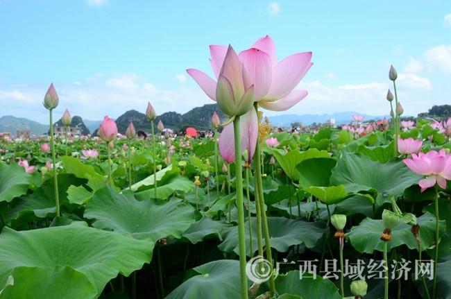 平桂区首届荷花艺术节盛大开幕
