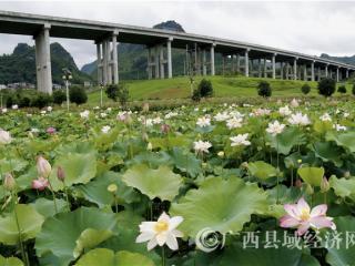 南丹县:百亩荷花开 盛夏迎客来