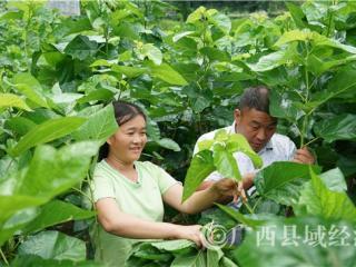 """凌云县:聋哑夫妻与""""蚕""""同居  种桑养蚕收入过万"""