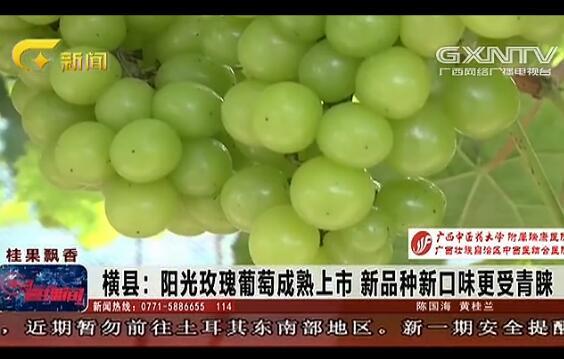横县:阳光玫瑰葡萄成熟上市 新品种新口味更受青睐