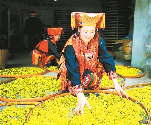 金秀县:金秀镇共和村大力发展林下中草药种植