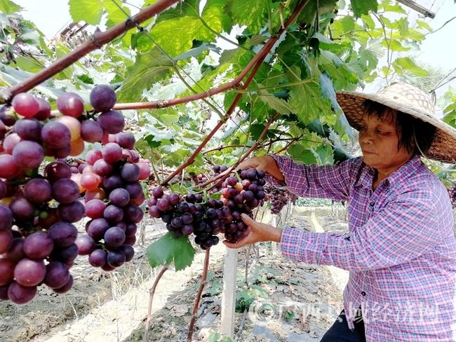 昭平县:特色果品产业助力乡村振兴