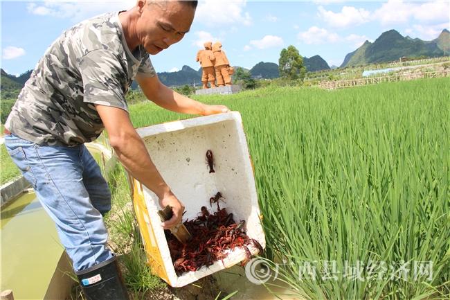 """南丹县:小龙虾""""安家""""绿稻花海"""