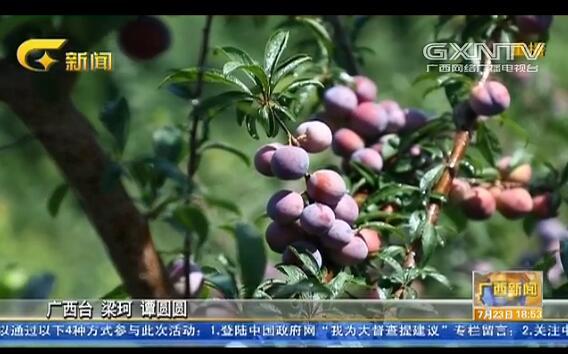 天峨县:龙滩珍珠李正式上市 预计年产值3亿元