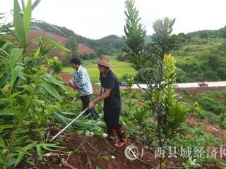 宁明县:东安乡发展坚果种植助推脱贫攻坚