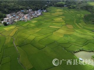 融安县:12万亩早稻进入成熟期