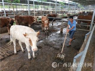 宁明县:生态肉牛养殖成为脱贫攻坚重要产业