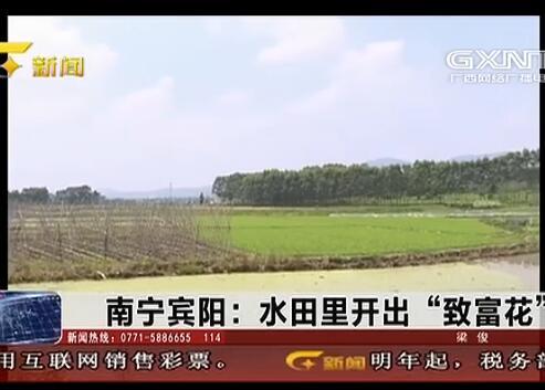 """宾阳县:水田里开出""""致富花"""""""