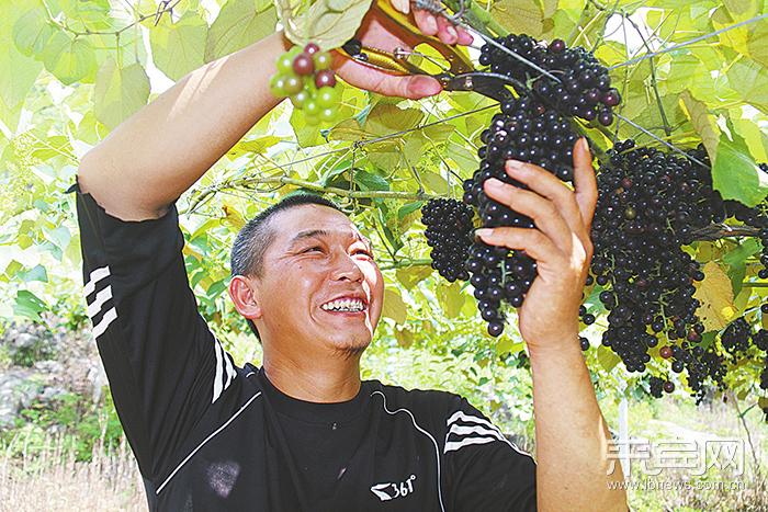 兴宾区:平阳镇帽山银山毛葡萄种植基地葡萄丰收