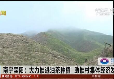 宾阳县:大力推进油茶种植 助推村集体经济发展